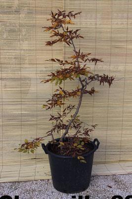 Charmille d'automne style chaniwaki- 220€