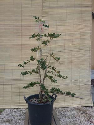 buis rotundifolia- style sokanshitate- 200€