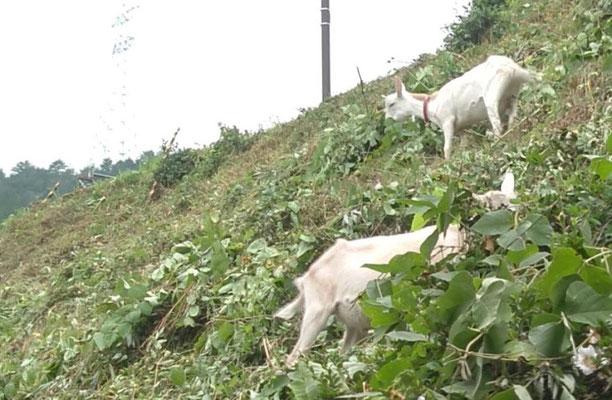 ▲パンをつくってって窓を開けたら、近所のヤギちゃん達が裏の土手でお食事中でした。