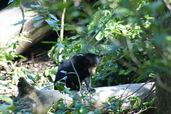Die scheuen Bären