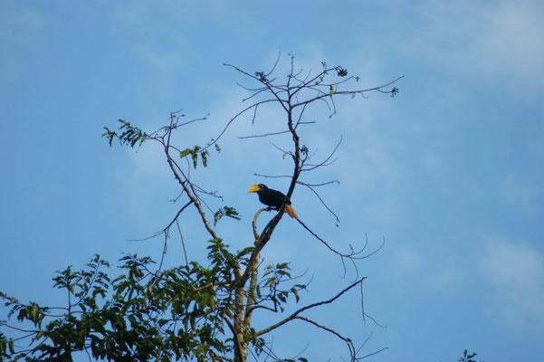 Ein Hornbill Vogel
