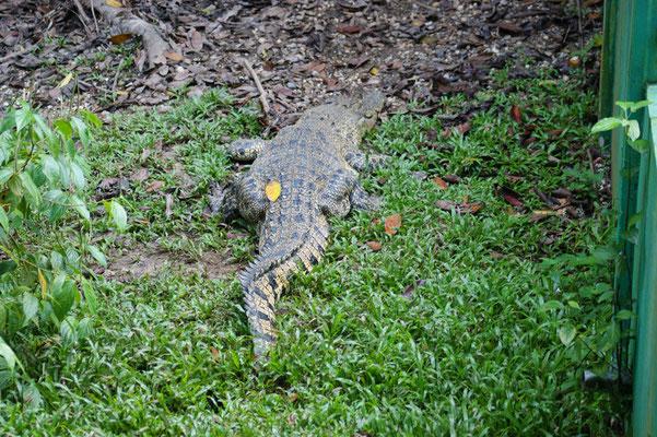 Das Krokodil dagegen ist ganz entspannt und ruhig