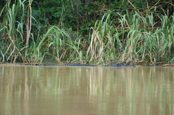 Über dem Wasser gleitet ein Krokodil