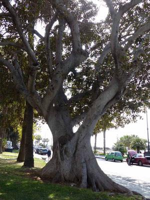 Bäume entlang des Lungomare