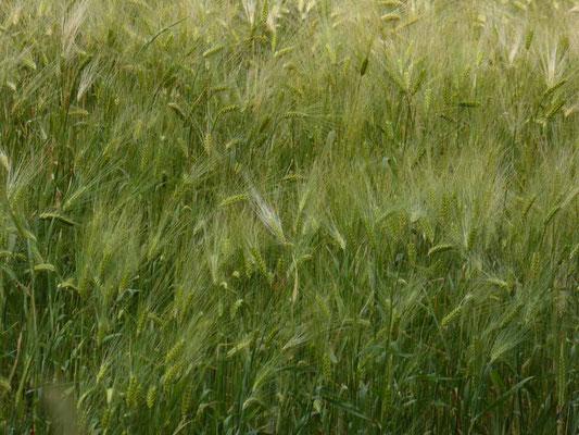 Getreidefelder,