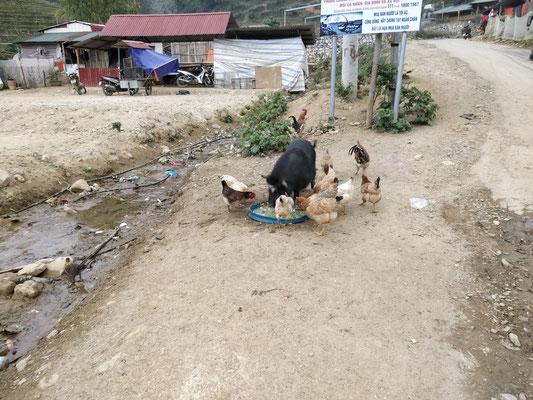 Bataille entre cochon et poules