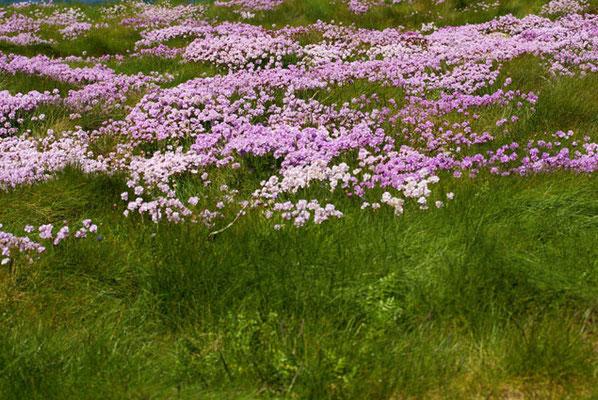 Flore des dunes de Bretagne