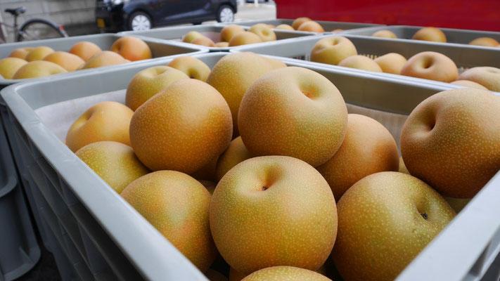 取材当日も、大きな梨が大量に収穫されていました。
