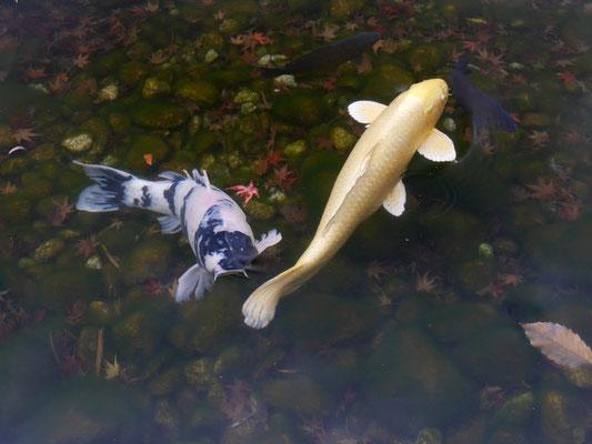 池で優雅に泳ぐ錦鯉たち。