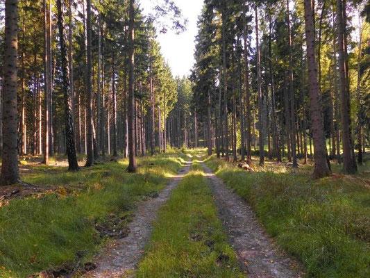 Heutiger Waldweg in der Kernzone in Richtung Jungferntanne. Früher ging die Route aber weiter links an einer heute nicht mehr nachvollziehbaren Stelle entlang.