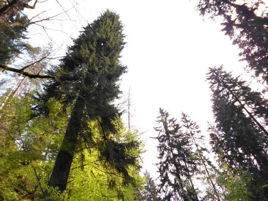 Riesenfichte, 60 Meter hoch, Alter 320 - 400 Jahre (laut Internet)