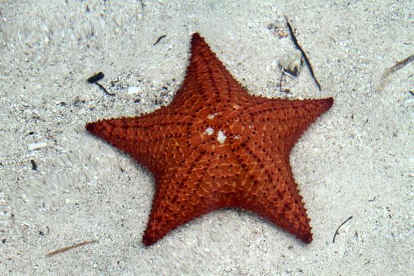 Seestern Panama San Blas Inseln