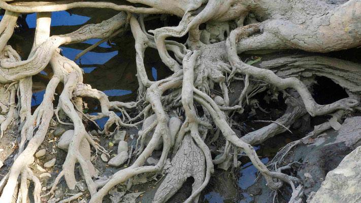 Olentangy Cottonwood Roots