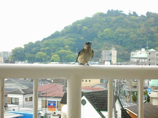 「腰赤燕」というのがいることを知りました。軒先でなく、コンクリのアパートの天井の角に、とっくりのような巣を作ります。