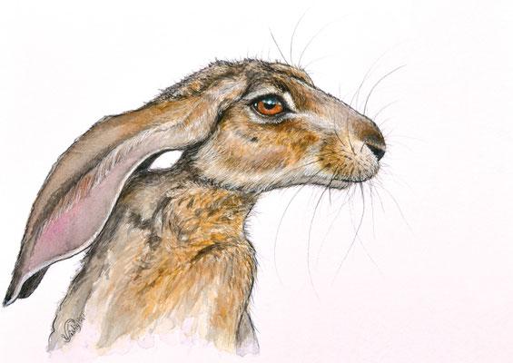 Hase Feldhase Sachbuch Illustration Tierporträt