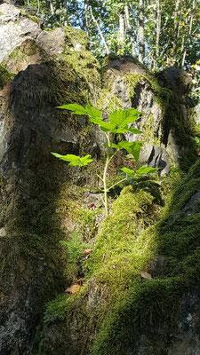 Frisches Grün entsteht am Hümmerich - Geotop Molzhain