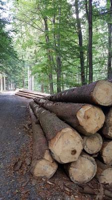 Große Fichtenbestände werden abgeholzt, auf Grund der Borkenkäfer-Plage - Molzhain
