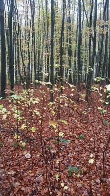 Herbstlicher Novemberwald Gesundheitswanderung Gebhardshain