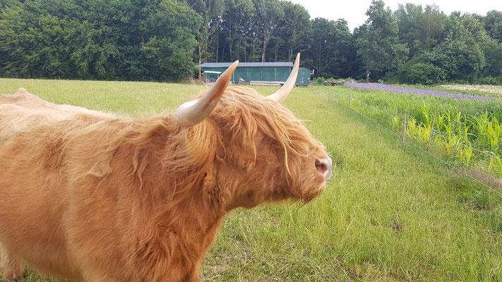 Kühe haben breitere und geschwungenere Hörner