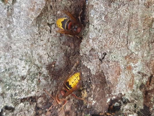 Hornissen finden einen Lebensraum in der hohlen Eiche