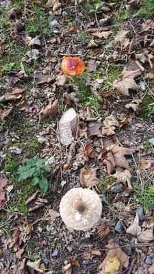 Pilze sind auf Grund des milden und feuchten Wetters reichlich zu finden