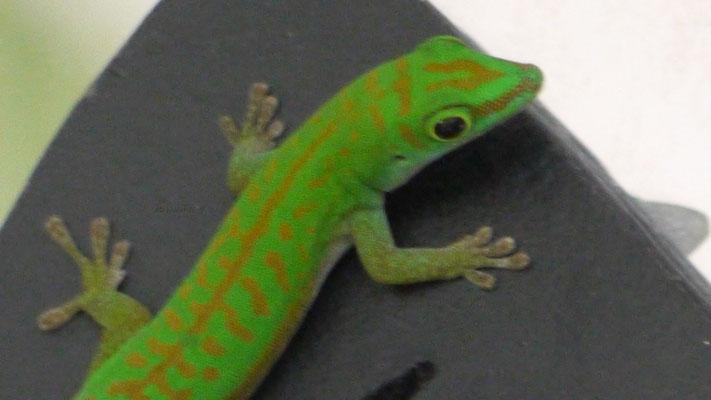 Die süßen nützlichen Geckos sind überall zu finden