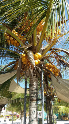 Überall Kokosnüsse…