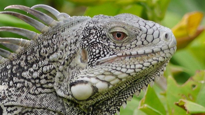 Man kann Leguane auch mit Salatgurken oder Mangos füttern.