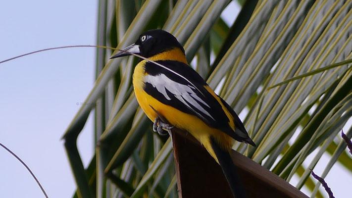 Charakteristisch ist der leuchtend orangene Bauch und die weißen Flecken an den Flügeln.