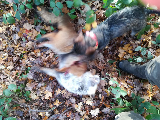 das rote Halsband ist deutlich sichtbar am Hund