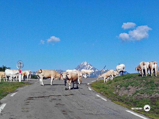 Auch die Kühe geniessen die Aussicht