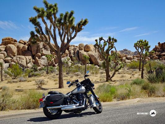Joshuas Trees und eine Harley ergeben ein super Fotomotiv