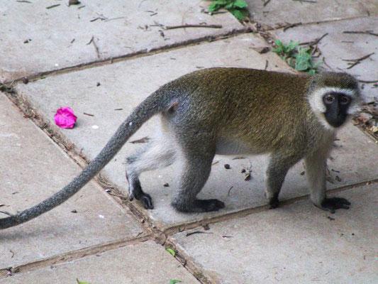 Affe auf der Straße im Zentrum von Nairobi