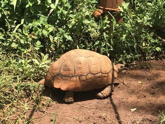 Wildlife, das man in der Stadt trifft: eine Schildkröte