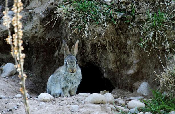 Le 10/05/2012   Lapins à Dogneville ( Vosges 88 )