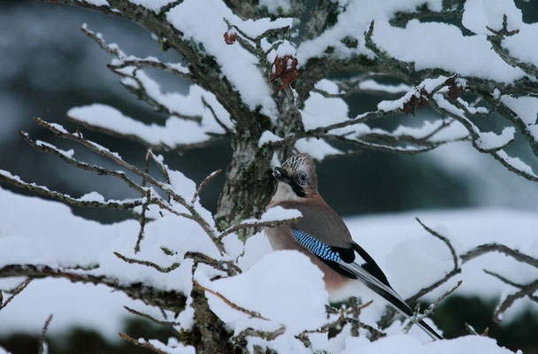 Mercredi  26 décembre 2012 - Geai des chênes Epinal.