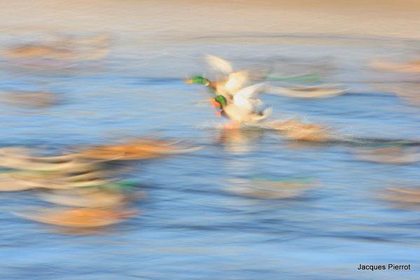 Canards col vert:  Dimanche 23 décembre 2007 à 10h 36 vitesse d'obturation 1/10 de seconde ( Bouzey Vosges )