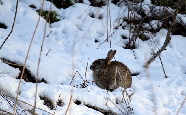Dimanche 10 février  2013   Lapins à Dogneville  ( Vosges )