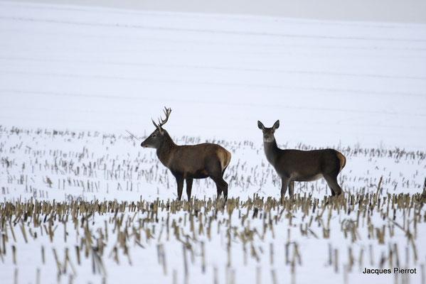 Le 28/1 2/ 2008 Une biche et un jeune cerf.( Vosges )