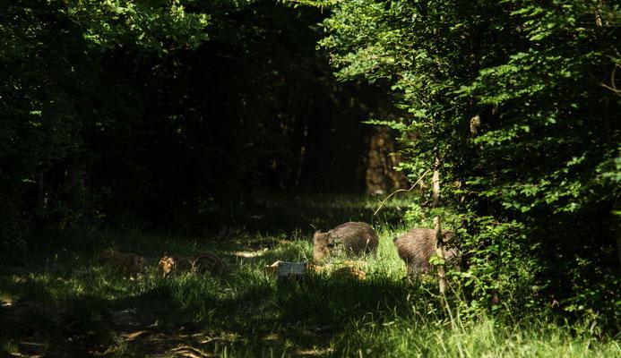 Le 30/06/2015 Laies et marcassins (Vosges 88)