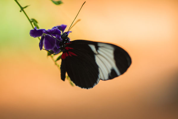 Samedi 06 septembre 2014 Papillons Hunawihr Alsace 68 Objectif Canon 100 macro f 2.8 L IS USM
