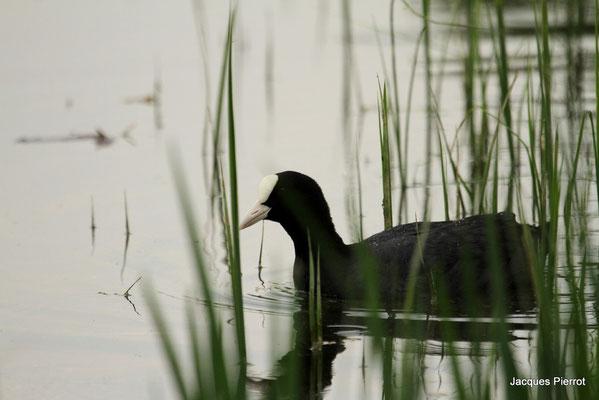Foulque à l'étang de Bouzey ( Vosges )