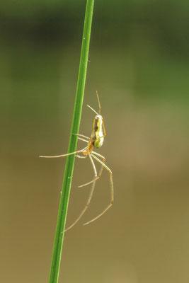 Le 02/07/2016  Araignée (La Tétragnatha extensa) Vosges 88 Objectif Canon 100 macro f 2.8 L IS USM