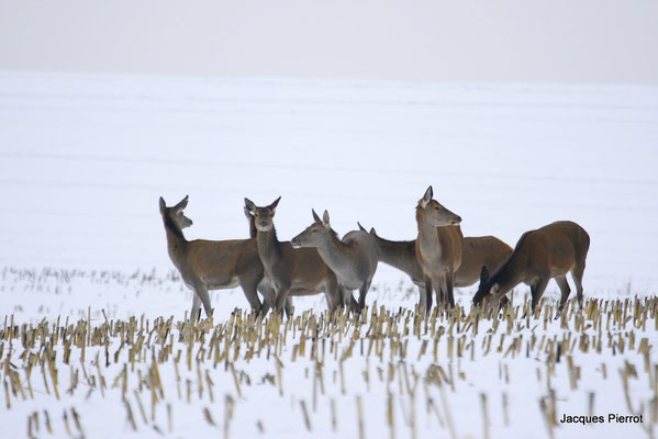Le 28/12/2008 Une harde, biches cerfs daguets et faons dans une prairie enneigée.( Vosges )