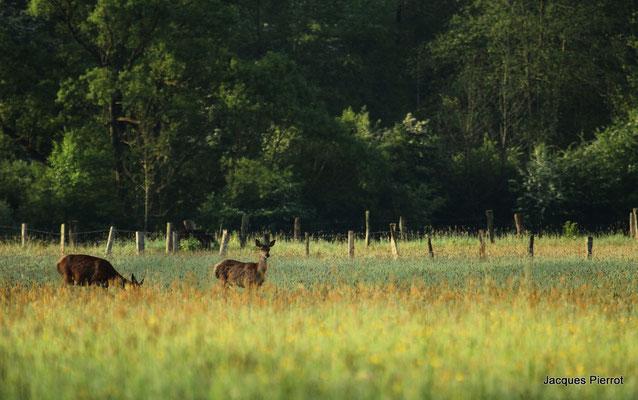 Le 09 / 05 / 2011  Biches et daguet dans un parc à vache.(Vosges)