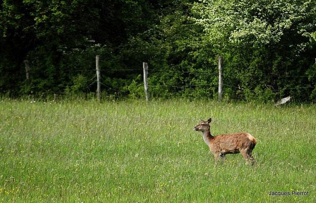 Le 20 / 05 / 2012   Biche dans les Vosges