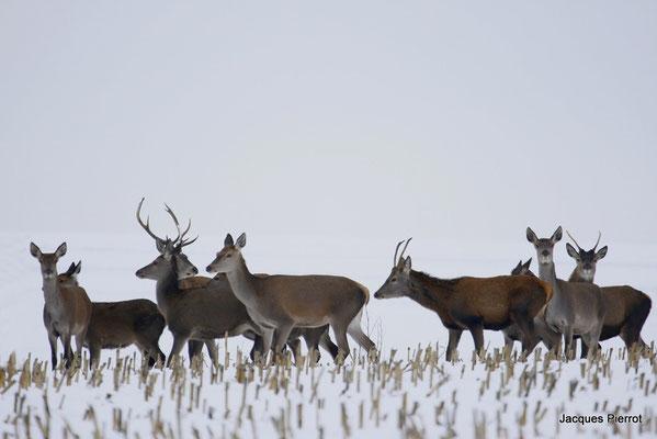 Le 28 / 12 / 2008 Une harde, biches cerfs daguets et faons dans une prairie enneigée.( Vosges )
