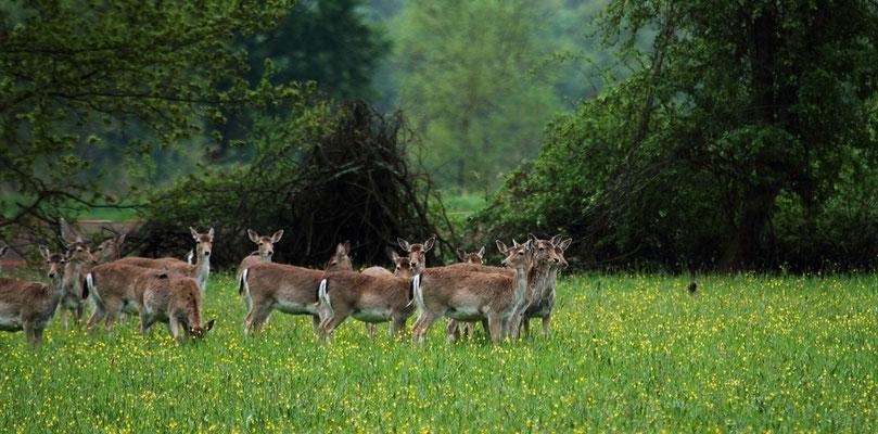 Le 05 mai 2012  Daims en Alsace ( 68  haut Rhin )
