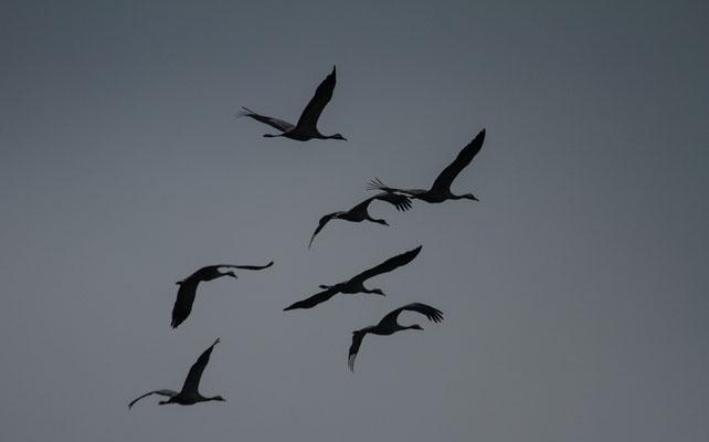 Le 29/11/2014  Grues cendrées (lac du Der)