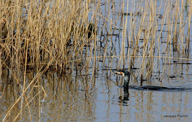 Grand cormoran dans l'étang des landes.